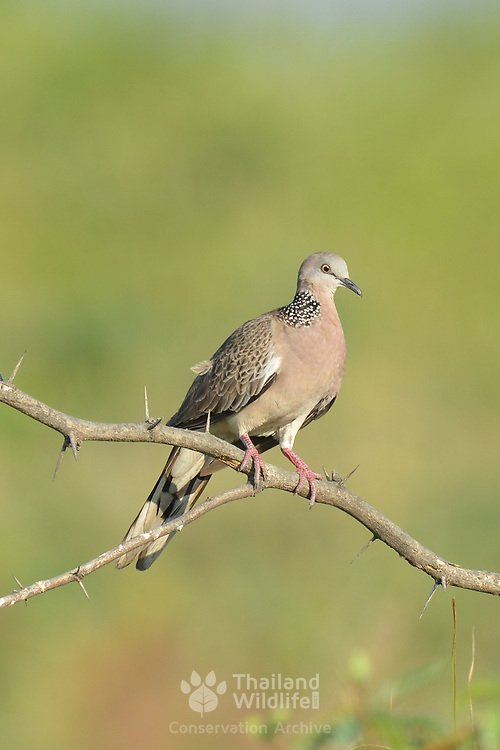 The spotted dove (Spilopelia chinensis) is a small and somewhat long-tailed pigeon which is a common resident breeding bird acro