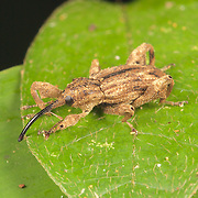 Curculionidae weevil. Phu Khieo Wildlife Sanctuary, Thailand.