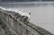 Black-legged kittiwakes (Rissa tridactyla) rest on pier at Ny-Alesund in Kongsfjorden, Svalbard.