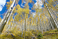 A cluster of Aspen trees in autumn at Aspen Ridge in New Mexico.
