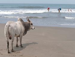 Bull on the beach, Little Vagator Beach, Goa.