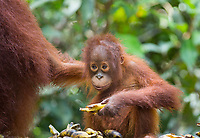 Portait of a young, wild Bornean orangutan (Pongo pygmaeus) eating bananas put out by park rangers as part of a supplemental feeding program in Tanjung Puting National Park, Indonesia.