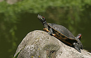 red-eared slider (Trachemys scripta elegans) is a semiaquatic turtle belonging to the family Emydidae. It is the most popular pet turtle