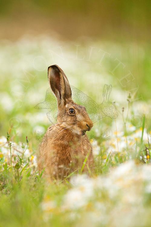 European Hare (Lepus europaeus) adult feeding in meadow, Norfolk, UK.
