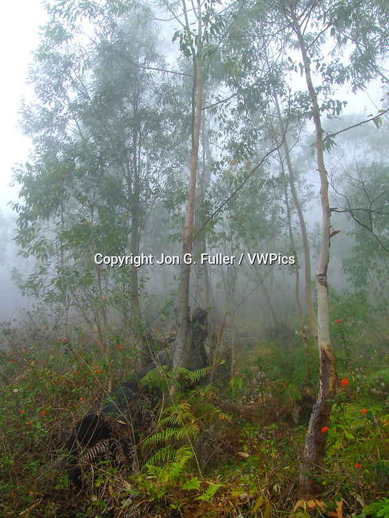 Trees in the fog on the trail down into the Valley of Paul from the Cova crater on Santo Antao, Republic of Cabo Verde, Africa.