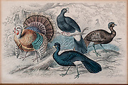 19th century artwork American Wild Turkey, Crested Curassow, Galeated Curassow, Red Curassow, By J. Stewart Del
