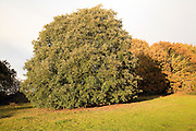 Evergreen holm oak tree, quercus ilix, in autumn, Shottisham, Suffolk, England