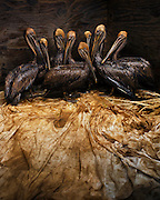 Brown pelicans (Pelecanus occidentalis) covered in crude oil from BP's Deepwater Horizon wellhead spill wait to be cleaned at the International Bird Rescue Research Center in Fort Jackson, Louisiana, June, 2010.