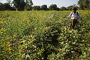 Dansingh spraying organic pesticide on his cotton crop.<br /> <br /> Dansingh has recently made the switch from conventional cotton farming to organic and he now makes his own fertiliser and pesticide as opposed to buying it.<br /> <br /> He can remember his father used to farm organic cotton.