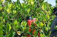 Fregata es un género de aves suliformes, el único de la familia Fregatidae,1 2 conocidas vulgarmente como rabihorcados o fragatas. Viven en zonas tropicales de los océanos Pacífico y Atlántico.<br /> Anidan en árboles y arbustos, y los machos atraen a las hembras inflando una bolsa que tienen en la garganta, que parece un globo rojo. Casi nunca se posan en el agua.<br /> Su distribución son las costas pacíficas y Atlánticas de América, de California Baja a Ecuador, incluyendo Galapagos, y de Florida a Brasil.<br /> <br /> ©Alejandro Balaguer/Fundación Albatros Media.