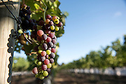 Veraison - Cab Sav - Voyager Estate, Margaret River - Photograph by David Dare Parker