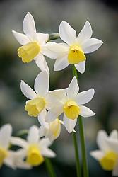 Narcissus 'Sailboat' AGM