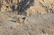 Bobcat (Lynx rufus) in rocky habitat