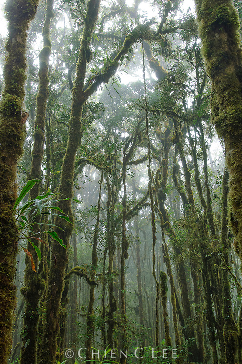 The trees in montane mossy forest are typically laden with epiphytic plants, such as on this mountain summit in Lore Lindu National Park. Central Sulawesi, Indonesia.