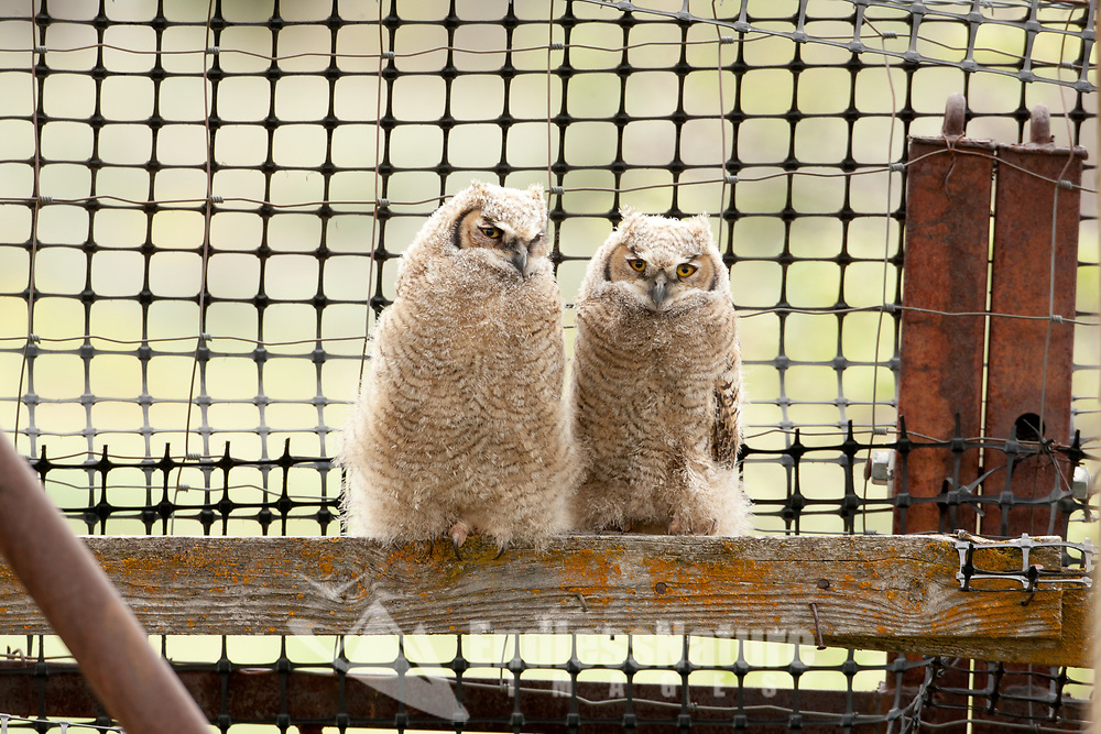 Two Great Horned Owlets have left their nest and are learning to crawl their way around an old hay shed in a local farmers field.