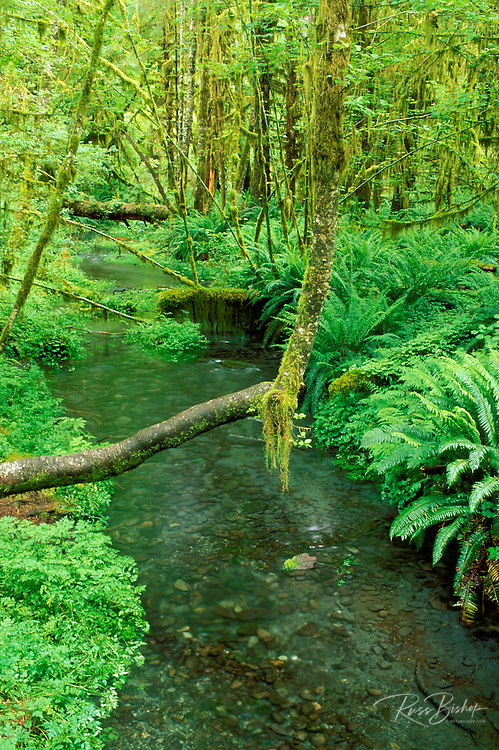 Taft Creek and lush groundcover in the Hoh Rain Forest, Olympic National Park, Washington