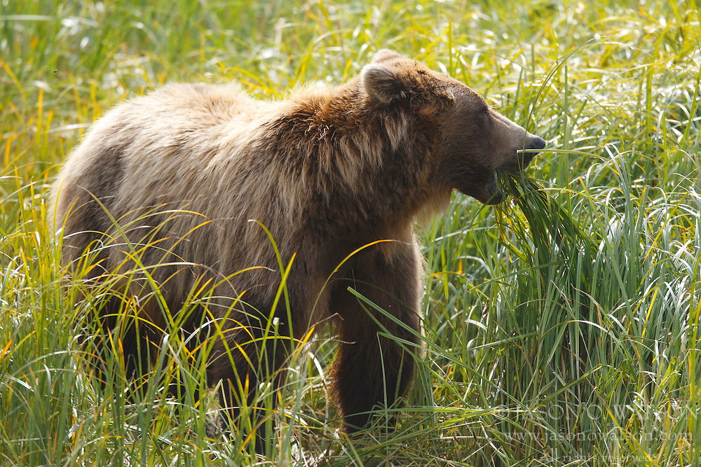 North American brown bear / coastal grizzly bear (Ursus arctos horribilis) sow eats grass in a field, Lake Clark National Park, Alaska, United States of America