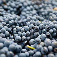 London, UK - 15 October 2013: Barbera grapes just delivered from the Piedmont area are ready to be processed at the new London Cru urban winery.