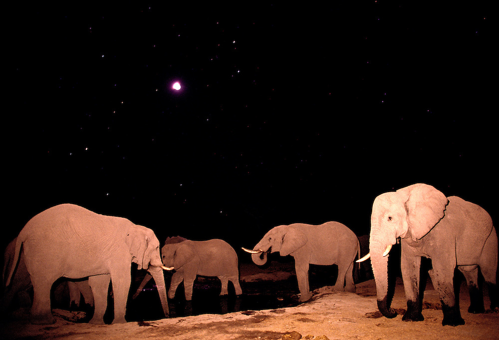 Africa, Botswana, Chobe National Park, Elephant herd (Loxodonta africana) drinking at water hole at night under moon and stars