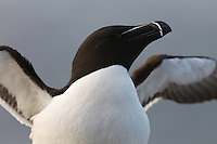 23.05.2008.Razorbill (Alca torda), stretching wings.Langanes peninsula, Iceland