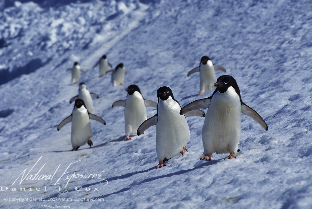 Adelie Penguins on Laurie Island in the South Georgia Islands.