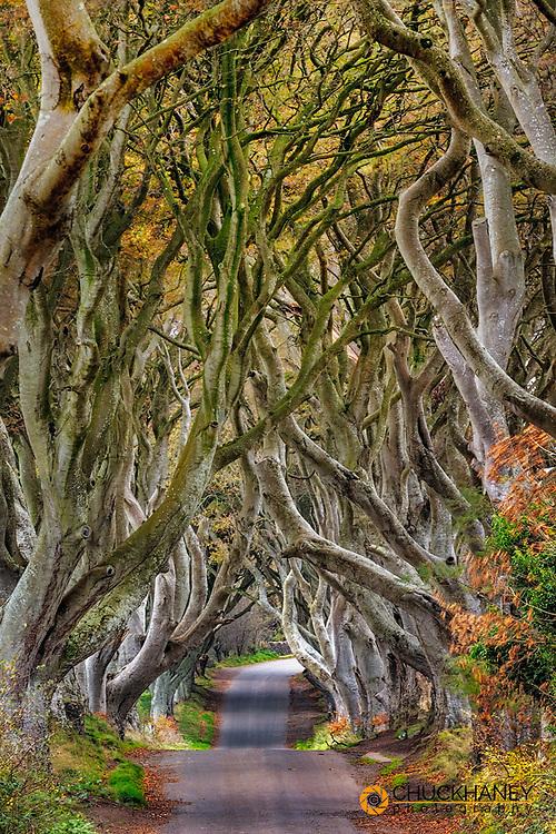The Dark Hedges in County Antrim, Northern Ireland