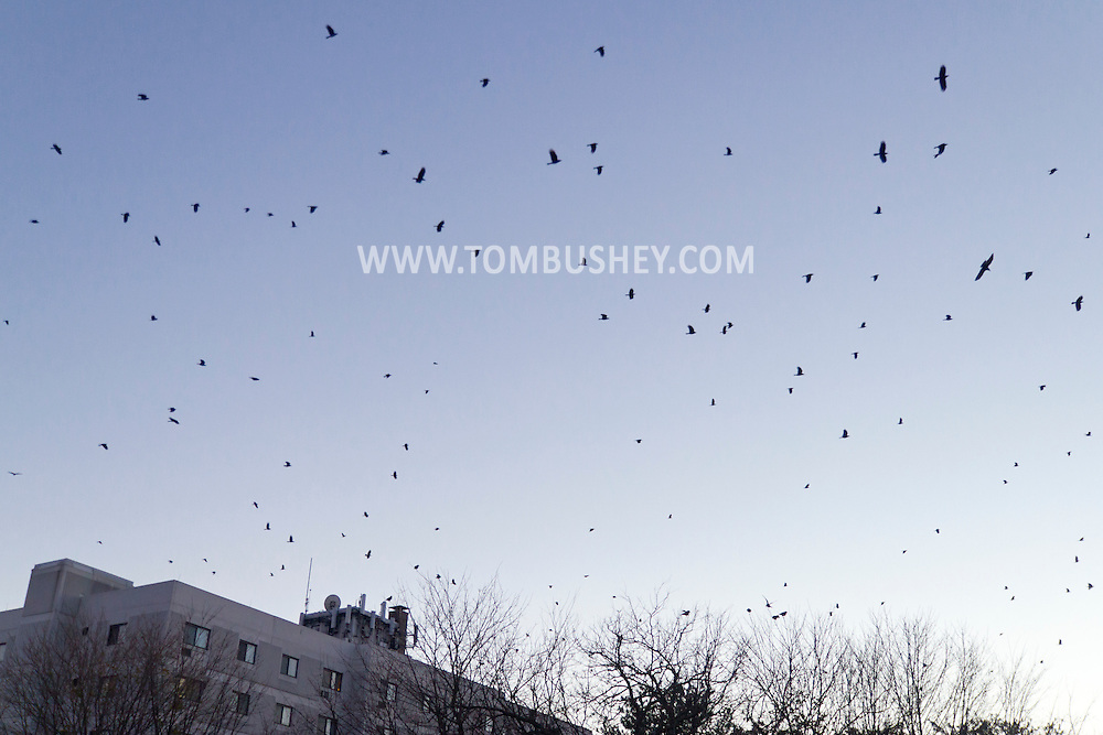 Middletown, New York - Crows converge on downtown Middletown at twilight on  Nov. 18, 2014.