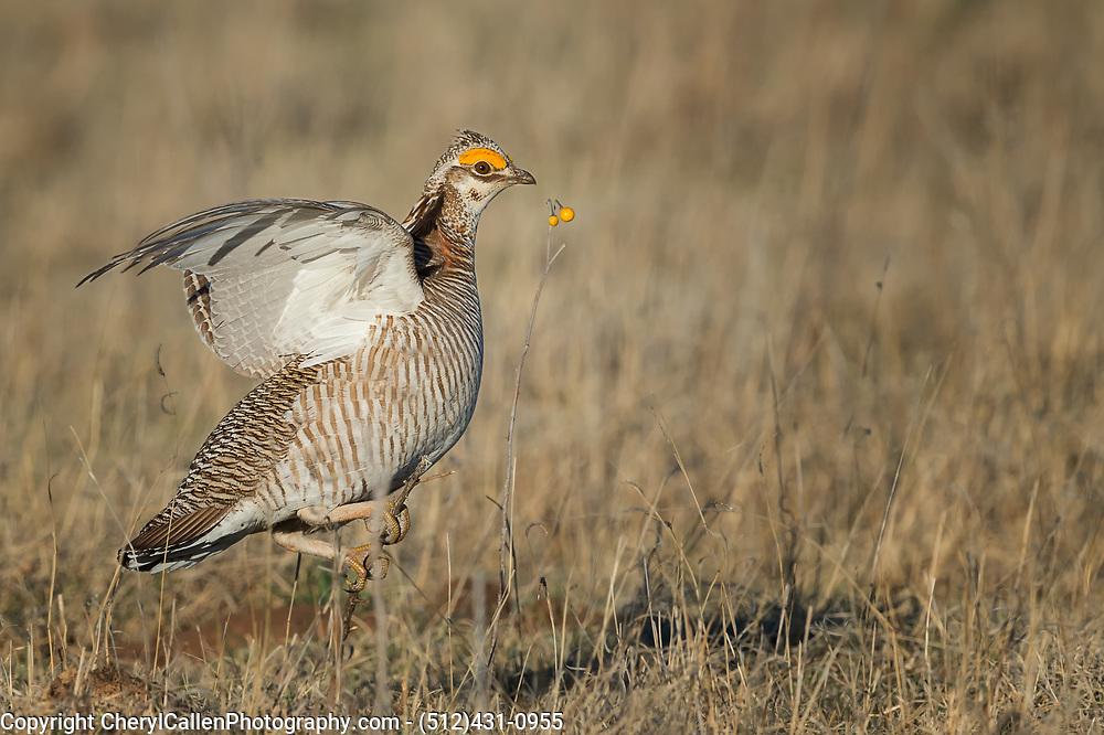 Lesser Prairie-Chicken strutting