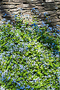 Forget Me Nots, Myosotis, wildflowers by Cotswold dry stone wall iSpringtime in The Cotswolds, Oxfordshire, UK