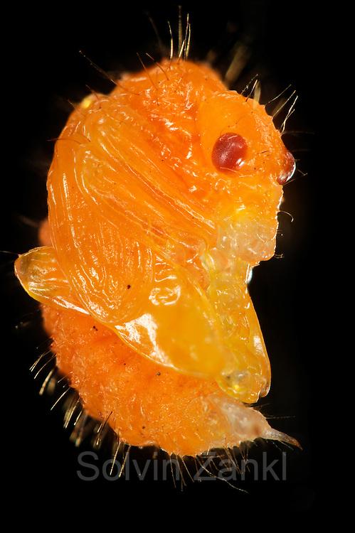 [captive] [Digital focus stacking] Beetle pupa of Hazel Leaf-roller Weevil (Apoderus coryli) Westensee, Germany | Im Verlauf des Puppenstadiums entwickelt sich die  Haselblattroller-Made (Apoderus coryli) zum Imago. Die Facettenaugen des späteren Käfers bilden sich aus.