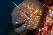 Giant Moray (Gymnothorax javanicus) with a Cleaner Shrimp (Lysmata amboinensis) in Tulamben, Bail, Indonesia.