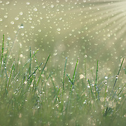 """""""Rain Dance"""" <br /> <br /> Gorgeous dewdrops on blades of grass in the morning sunlight with a touch of extra magic!"""