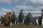 King Penguins (Aptenodytes p. patagonica). Adult and chick<br /> Volunteer Point, Johnson's Harbour, East Falkland Island. FALKLAND ISLANDS.<br /> RANGE: Circumpolar, breeding on Subantarctic Islands. Extensive colonies found in South Georgia, Marion, Crozet, Kerguelen and Macquarie Islands. The Falklands represent its most northerly range. They are highly gregarious which probably accounts for it common association with colonies of Gentoo Penguins.<br /> King Penguins are the largest and most colourful penguins found in the Falklands. They have a unique breeding cycle. The incubation of one egg lasts for 54-55 days and chick rearing 11-12 months. As the complete cycle takes more than one year a pair will generally only breed twice in three years.