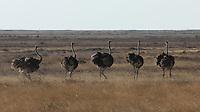 Ostrich group  Etosha  Namibia