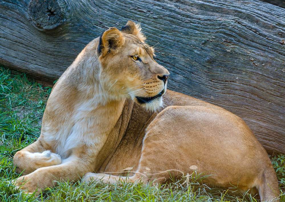 An African lioness (Panthera Leo), watches visitors at the Memphis Zoo, September 8, 2015, in Memphis, Tennessee. The zoo features more than 3,500 animals representing more than 500 species; it is one of only four zoos in the nation to feature a panda exhibit. (Photo by Carmen K. Sisson/Cloudybright)