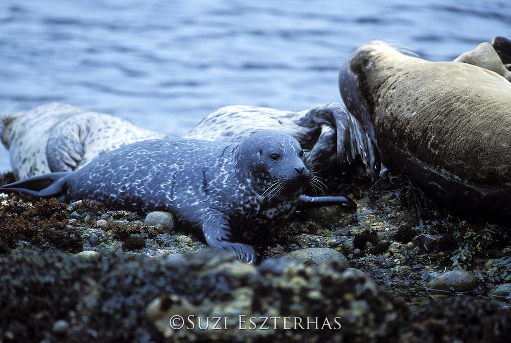 Harbor Seal<br /> Phoca vitulina<br /> 1 week old pup<br /> Point Lobos State Reserve, CA