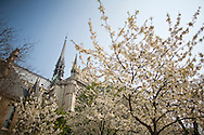 Trees bloom in front of the Cathedral of Notre Dame in Paris, France.