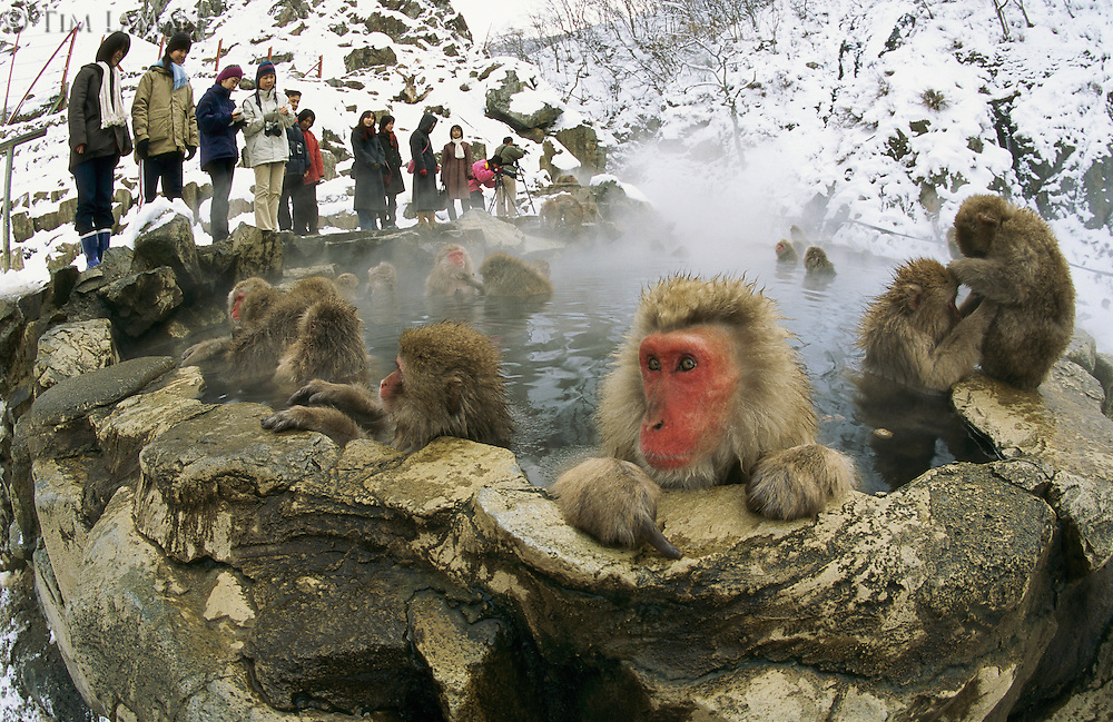 Tourists watch a group of snow monkeys soaking in a hot spring.