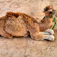.Dromedary Camel Calf in Marrakech, Morocco<br /> The dromedary or one-hump camel is indigenous to the Middle East. Since 3,000 B.C., they have been raised as a source of milk, meat and transportation.  Although this camelid can tolerate heat above 120&deg; F, it might lose up to 25% of body weight through perspiration. When given the chance, they will lay down in this sternal recumbency position. This calf will stand about six feet and weigh 650 to 1,300 pounds when full grown. He is one of 14 million domestic camels in the world. They have not existed in the wild for over 2,000 years.