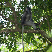 The dusky langur, spectacled langur, or spectacled leaf monkey (Trachypithecus obscurus) is a species of primate in the Cercopithecidae family. It is found in Malaysia, Burma, and Thailand.
