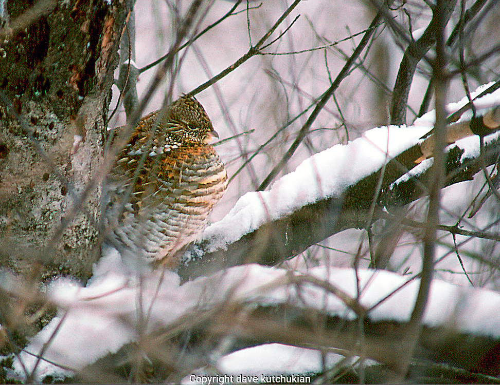 a ruffed grouse quietly waits out winter high above in a mature pine tree.