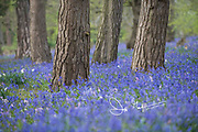 A carpet of bluebells (Hyacinthoides non-scripta) in a woodland in Suffolk, England.