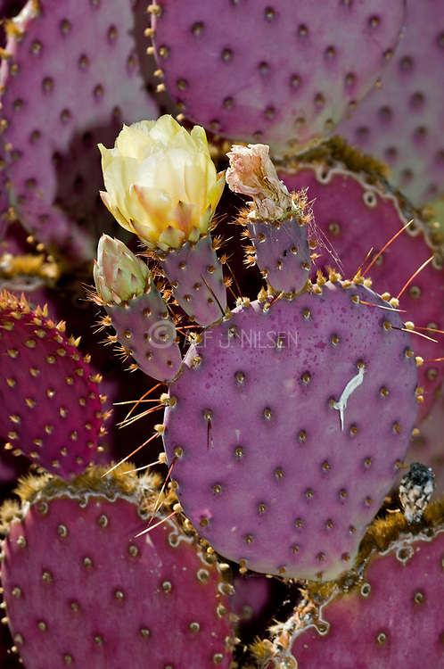 Opuntia violacea (var. santa-rita). Flowering specimen from Arizona, USA.