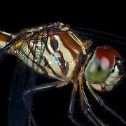 Close up of a dragonfly in Pang Sida National Park, Thailand.