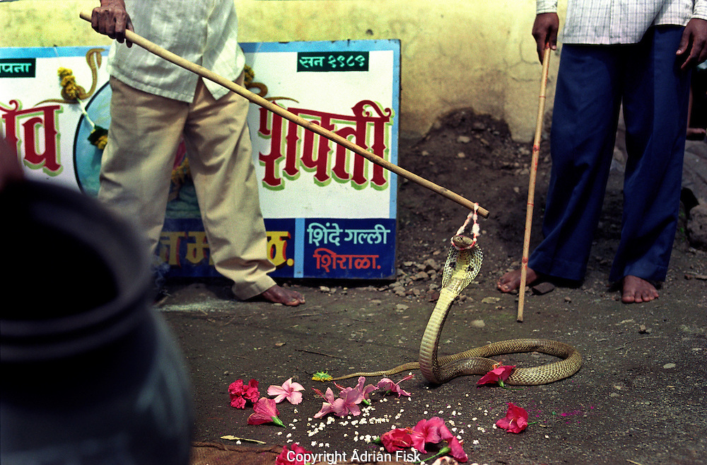 Baltis Shirala is famed for its Hindu fertility festival known as Nag Panchami. Taking place in August, the first two weeks leading up to the main day of the festival are taken up by multiple teams of five to ten boys and men going out into the fields and seeing how many Cobras they can catch. Its risky business as one Cobra contains enough venom to kill fifteen men. Members of teams have died one more than one occasion whilst digging out the snakes. At the end of the two week competition around six hundred Cobras have been caught. The Cobras are then blessed by putting small garlands around their neck, once the festival is over they are released back into the wild..