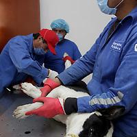 Toluca, Mex.- Esterilización, desparasitación, vacunas  y adopción de perros y gatos, son algunos de los servicios que brinda el Centro Municipal de Salud y Bienestar Animal de Toluca; la esterilización es una forma de controlar el aumento de la población canina y así se evita que más animales sean abandonados en las calles. Agencia MVT / Crisanta Espinosa. (DIGITAL)<br /> <br /> NO ARCHIVAR - NO ARCHIVE