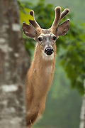 A White-tailed Deer peeks around a tree, at Acadia National Park, Maine, North America