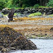 Bald Eagle in flight. Ketchikan, Alaska.