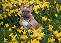 © Licensed to London News Pictures. 17/03/2017. LONDON, UK.  Baxter, a french bulldog goes for a walk in the blooming daffodils in Wapping, east London during mild and sunny spring weather today. Photo credit: Vickie Flores/LNP