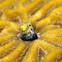 Blenny in a brain coral